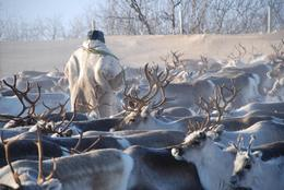 Copyright: Mauri Nieminen: Reindeer herder, Sapmi