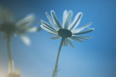 Blomst prestekrage