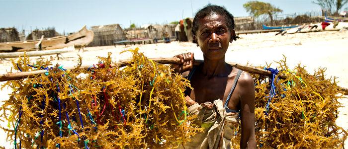 På Madagaskar er det etablert et helt nytt lokalsamfunn med basis i algedyrking. Halvparten av arbeiderne er kvinner. Foto Blue Ventures