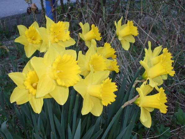 Gule påskeliljer