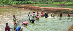 Innhøsting av tilapia i fiskeoppdrettsdammer på Madagaskar