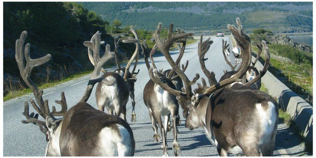 reindeers on the road Nordkapp_640x320