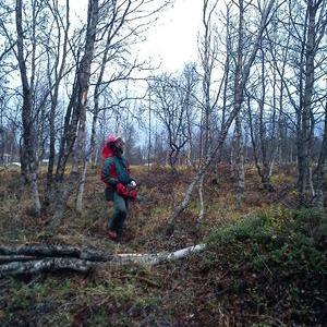 Arbeid i skogen med motorsag