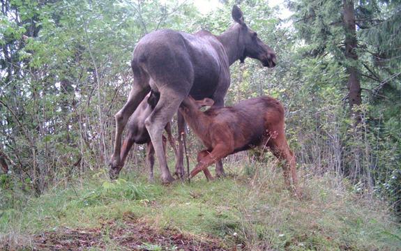 Elgfamilien koser i hytteholtet