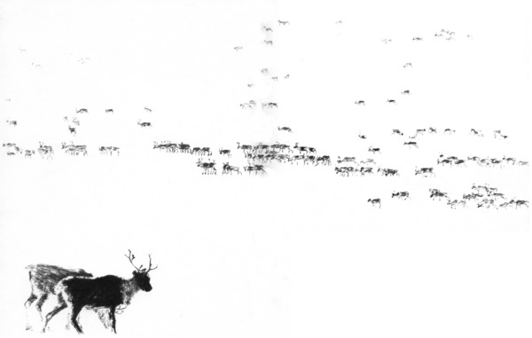 Reindeer Herd-pencil drawing_600x381.jpg