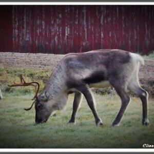 Reinsdyr (foto Elisabeth Torstad)