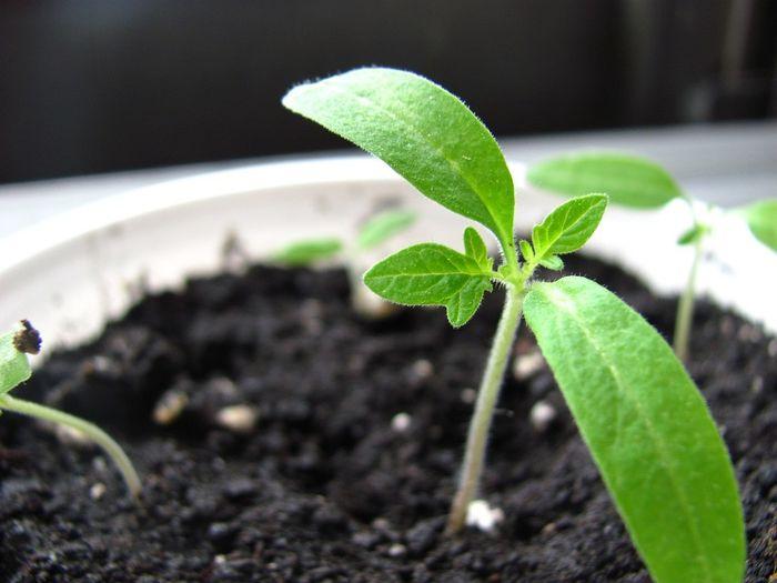 Liten spirende plante i jord