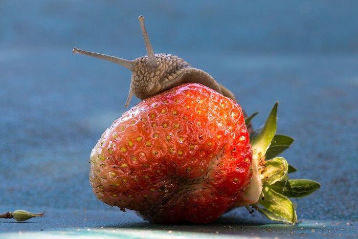 Brun snegle på jordbær