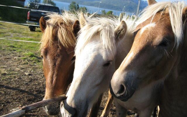 hest 005