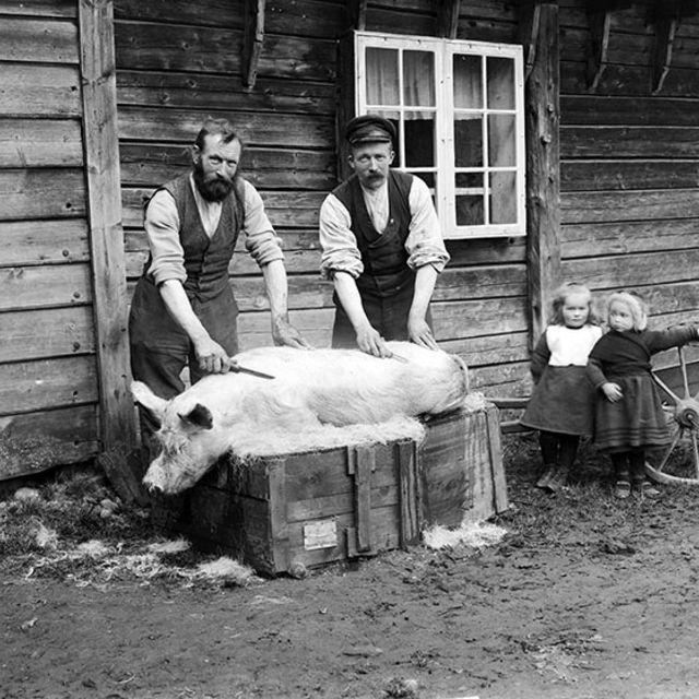 Griseslakt, 1910. Foto: Jens Knudsen Maurseth