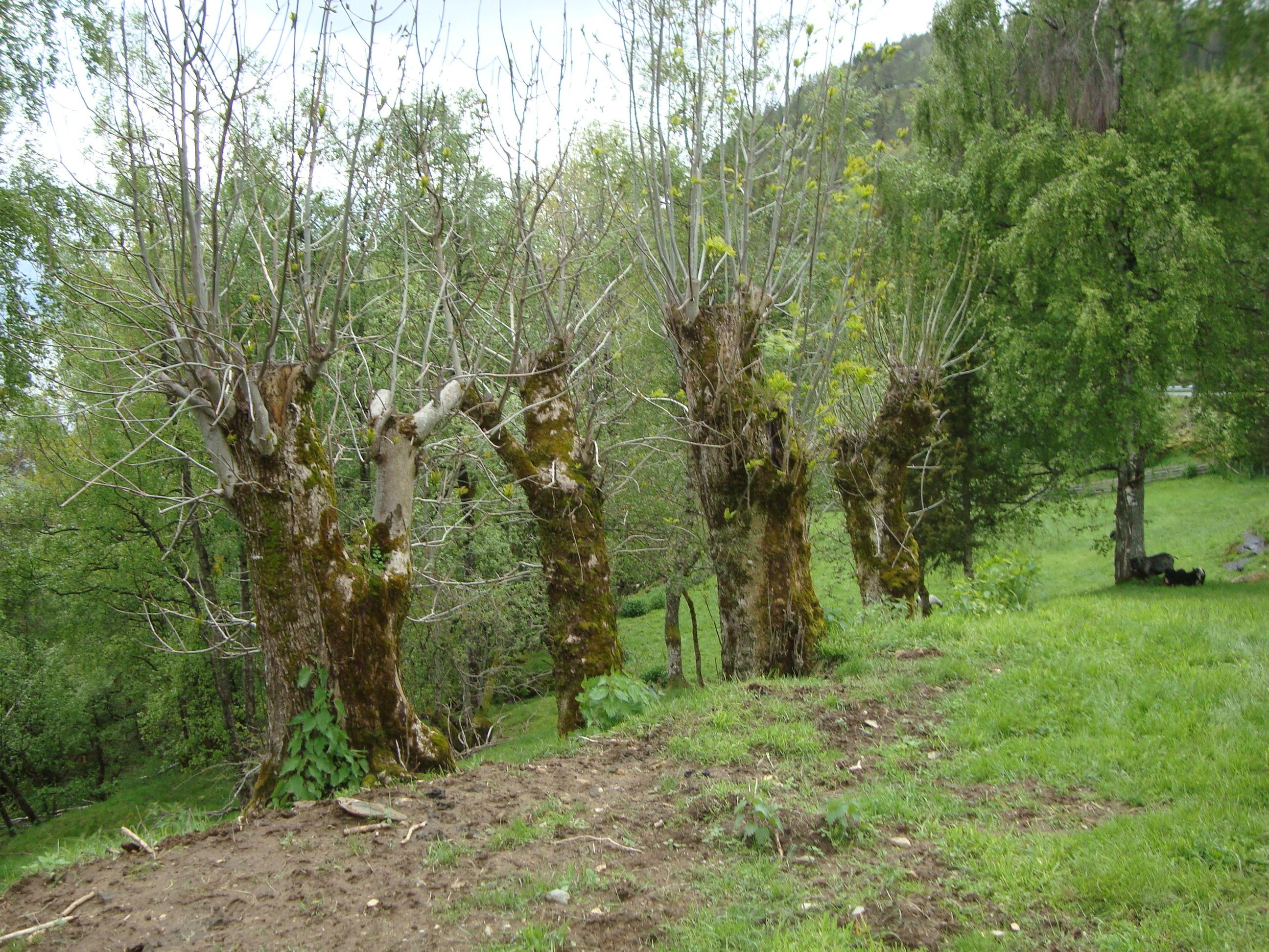 Askenavar på Robjørgane.jpg