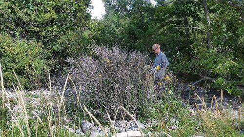 Død busk fjernes     Foto: Vestby kommune