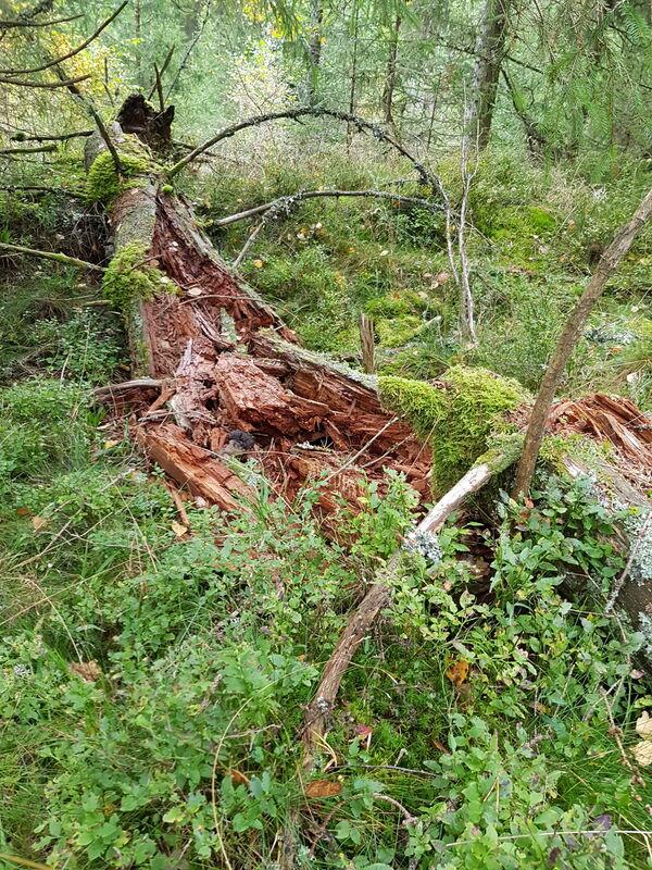 Ødemørk trestamme i skogen