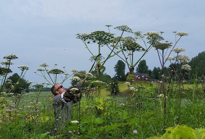 Ole Eian fjerner kjempebjørnekjeks. Planten er giftig og kan gi store brannsår. Foto: Cathrine Torjussen