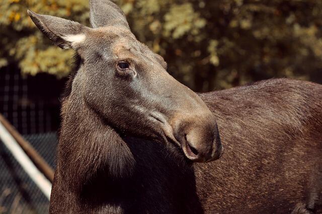 Elg (moose-4528375 pixabay.com)